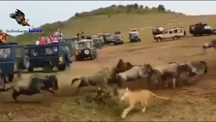 شکار جسورانه شیر نر جلوی دیدگان تماشاچیان